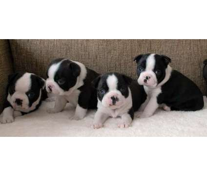 Playful F4 Healthy Male and Female Boston Terrier Puppies Ready is a Female, Male Boston Terrier Puppy For Sale in Miami FL