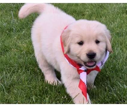 Super F3 Healthy Male and Female Golden Retriever Puppies Ready is a Female, Male Golden Retriever Puppy For Sale in New York NY