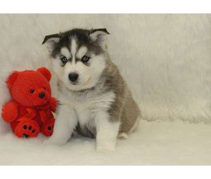 Perfect F2 Healthy Male and Female Siberian Husky Puppies Ready is a Female, Male Siberian Husky Puppy For Sale in New York NY