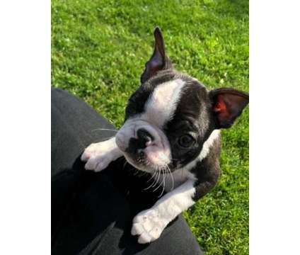 Cute F3 Healthy Male and Female Boston Terrier Puppies Ready is a Female, Male Boston Terrier Puppy For Sale in Lexington KY