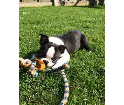 Supe F3 Healthy Male and Female Boston Terrier Puppies Ready is a Female, Male Boston Terrier Puppy For Sale in Boston MA