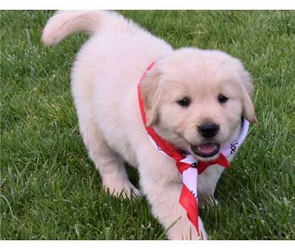 Pretty F3 Healthy Male and Female Golden Retriever Puppies Ready is a Female, Male Golden Retriever Puppy For Sale in Boston MA