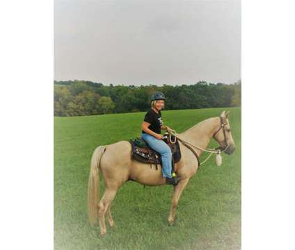 FOR SALE: Handsome Tennessee Walker/ Kentucky Rocky Mountain PALOMINO Gelding 16 is a Male Tennessee Walking Horse in Bath PA