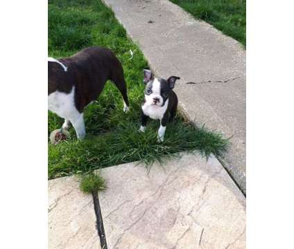 Stunning Healthy Male and Female Boston Terrier Puppies Ready is a Female, Male Boston Terrier Puppy For Sale in Ashburn VA