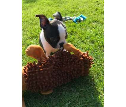 Happy Healthy Male and Female Boston Terrier Puppies Ready is a Female, Male Boston Terrier Puppy For Sale in Durham NC