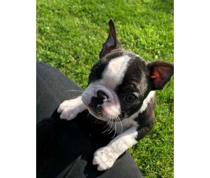 adorable F2 Healthy Male and Female Boston Terrier Puppies Ready is a Female, Male Boston Terrier Puppy For Sale in Pittsburgh PA
