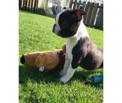 Pretty 12week Healthy Male and Female Boston Terrier Puppies Ready is a Female, Male Boston Terrier Puppy For Sale in Minneapolis MN