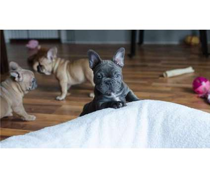 Wholesome Blue Healthy Male and Female French Bulldog Puppies Ready is a Blue Female French Bulldog Puppy For Sale in Providence RI