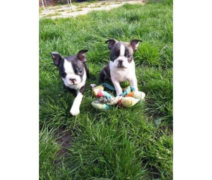 Enjoyable Healthy Male and Female Boston Terrier Puppies Ready is a Female, Male Boston Terrier Puppy For Sale in Providence RI