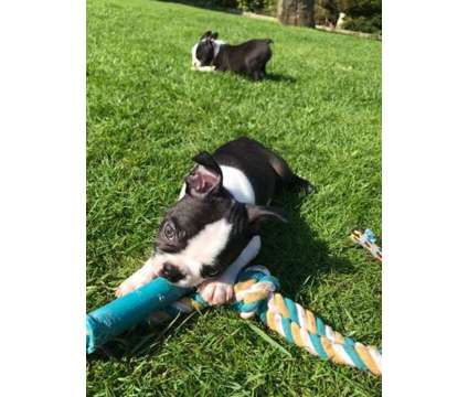 Excellent 2 Healthy Male and Female Boston Terrier Puppies Ready is a Female, Male Boston Terrier Puppy For Sale in Hartford CT
