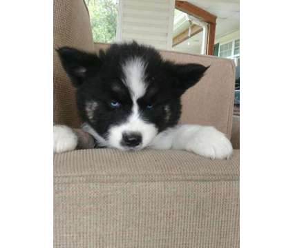 Blue-eyed Huskita Puppies is a Blue Male Puppy For Sale in Gainesville FL