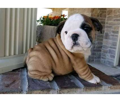 Outstanding Healthy Male and Female English Bulldog Puppies Ready is a Female Bulldog Puppy For Sale in Chicago IL