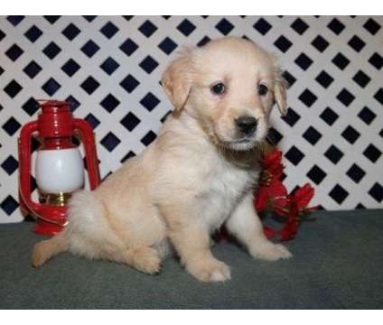 Outstanding F2 Healthy Male and Female Golden Retriever Puppies Ready is a Female, Male Golden Retriever Puppy For Sale in Chicago IL