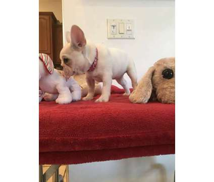 french bulldog puppies is a Female Bulldog Puppy For Sale in Dade City FL