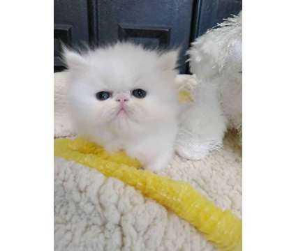 Persian Kittens For Sale is a Female Persian Young For Sale in Apache Junction AZ