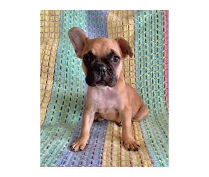 Fawn frenchie female pup is a Female French Bulldog Puppy For Sale in Phoenix AZ