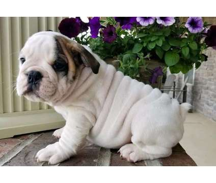 AKC Happy Healthy Male and Female English Bulldog Puppies Ready is a Female Bulldog Puppy For Sale in Philadelphia PA