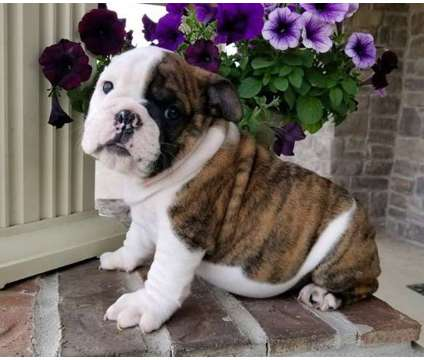 12WEK Swet Healthy Male and Female English Bulldog Puppies Ready is a Female, Male Bulldog Puppy For Sale in Providence RI