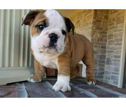 Class 3 Healthy Male and Female English Bulldog Puppies Ready is a Female, Male Bulldog Puppy For Sale in Baltimore MD