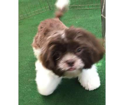Shih Tzu Puppy is a Male Shih-Tzu For Sale in Greeley CO