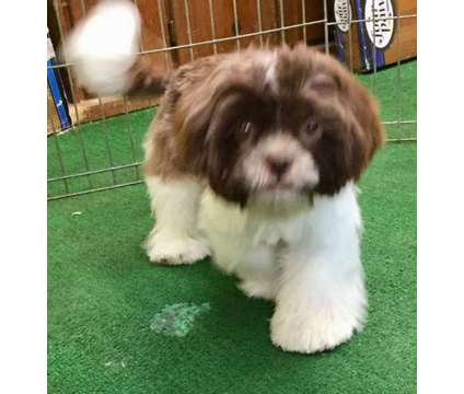 Shih Tzu Puppy is a Male Shih-Tzu Puppy For Sale in Greeley CO