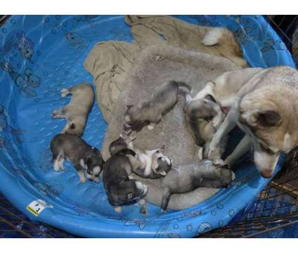 Purebred siberian husky pups is a Siberian Husky Puppy For Sale in Chicago IL