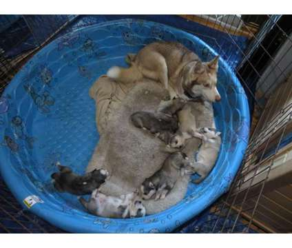 purebred siberian husky pups AKC is a Siberian Husky Puppy For Sale in Milwaukee WI