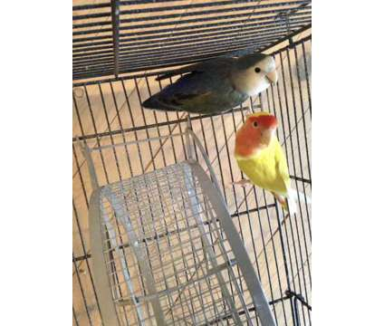 Pair of Lovebirds for Sale is a Lovebird For Sale in Bolingbrook IL