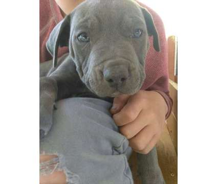 Pitbull puppies 8 weeks old is a Male Pit Bull Terrier Puppy For Sale in Camp Pendleton CA