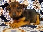 GLISTEN Australian Shepherd Baby - Adoption, Rescue