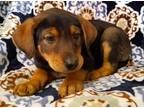 GALLOP Australian Shepherd Baby - Adoption, Rescue