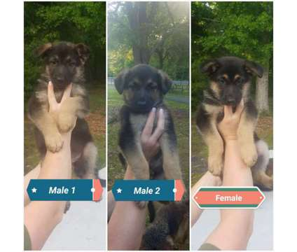 German Shepherd Puppies is a Female, Male German Shepherd Puppy For Sale in Jericho SC