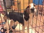 Sadie Beagle Baby - Adoption, Rescue