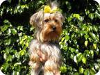 Bell Yorkie, Yorkshire Terrier Young Female