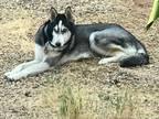 Kota Siberian Husky Young - Adoption, Rescue