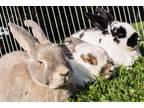 Daisy, Panda, Charlotte Bunny Rabbit Senior - Adoption, Rescue