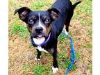 Haley Boston Terrier Young - Adoption, Rescue
