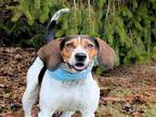 COOPER Treeing Walker Coonhound Adult - Adoption, Rescue