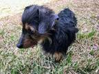 Munchkin GC Dachshund Adult - Adoption, Rescue