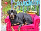 Diesel Rottweiler Adult - Adoption, Rescue