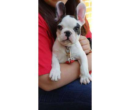 French bulldog puppy is a Male French Bulldog Puppy For Sale in Deep Gap NC