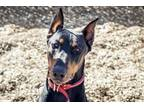 Roxy Doberman Pinscher Young - Adoption, Rescue