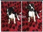 Dylan Australian Cattle Dog /