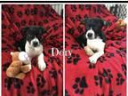 Dory Australian Cattle Dog / B