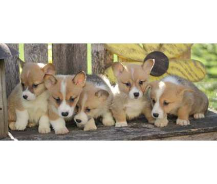 FHDGVkdfvytsdGDJg Awesome Male and Female Pembroke Welsh Corgi Puppies Ready is a Female Pembroke Welsh Corgi Puppy For Sale in Los Angeles CA