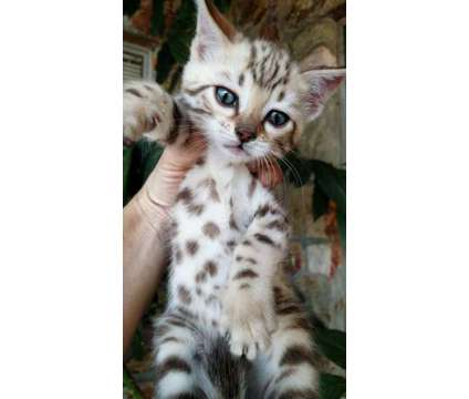 Mink Spotted Girl Bengal Kitten - well spoiled and loved is a Female Bengal Kitten For Sale in San Jose CA
