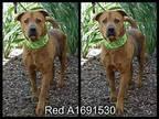 RED Labrador Retriever Senior Male
