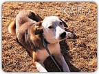Kato Anatolian Shepherd Young Male