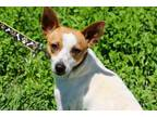 Tango Rat Terrier Adult - Adoption, Rescue