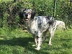 Myles English Setter Young - Adoption, Rescue